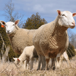 All Lambing Supply Products