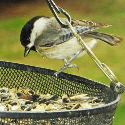 Chickadee at Birdfeeder